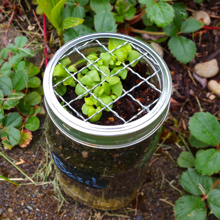 Urban Homesteading: Mason Jar Herb Garden