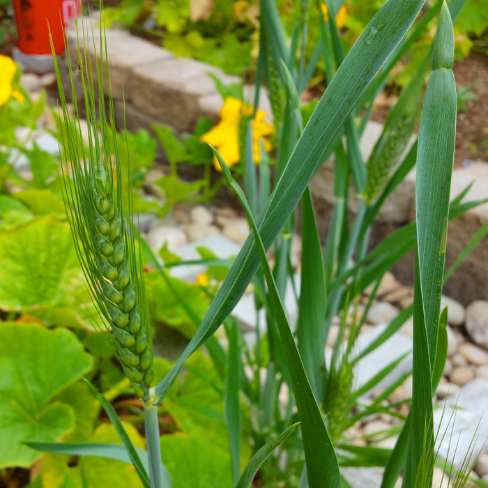 Urban Homesteading: Growing Wheat